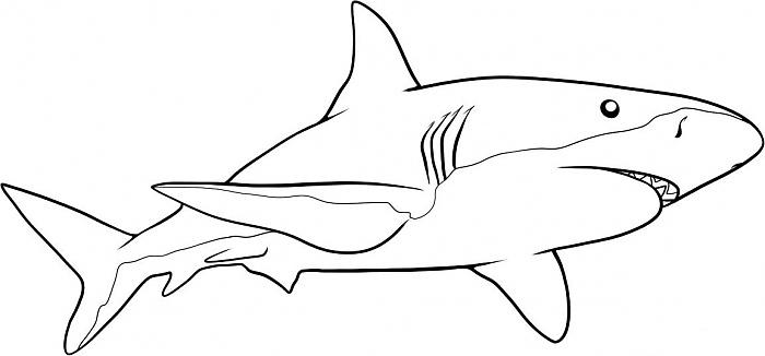 Рисуем белую акулу