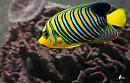 Silurus glanis) - крупная пресноводная бесчешуйчатая рыба семейства сомовые (Siluridae) отряда сомообразные.