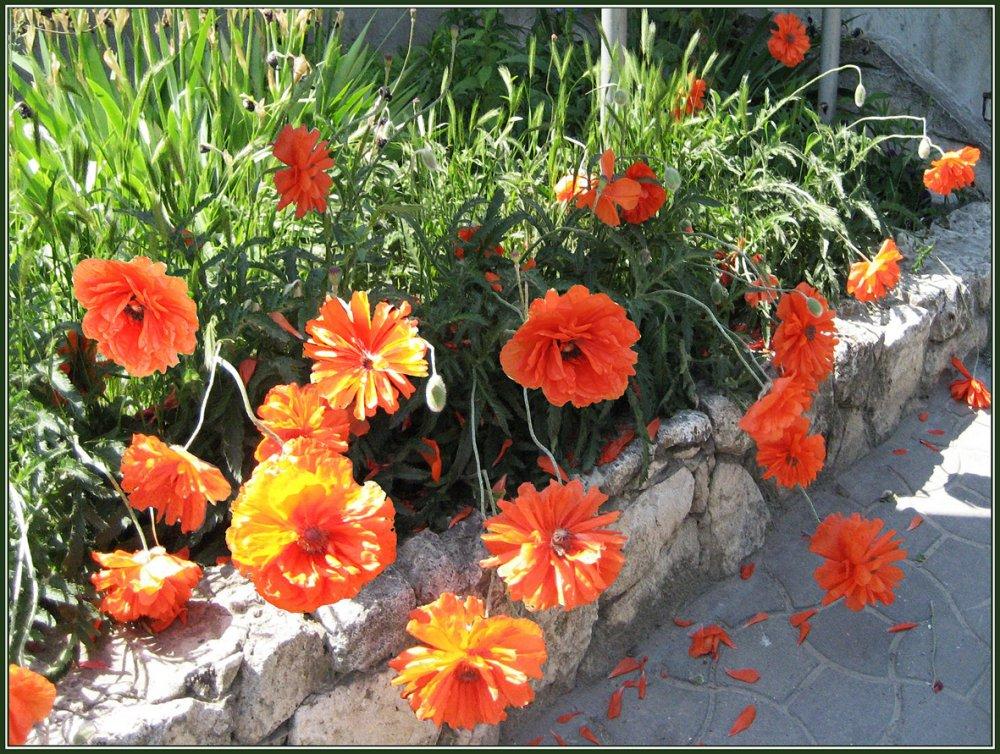 Мак восточный цветов на клумбе