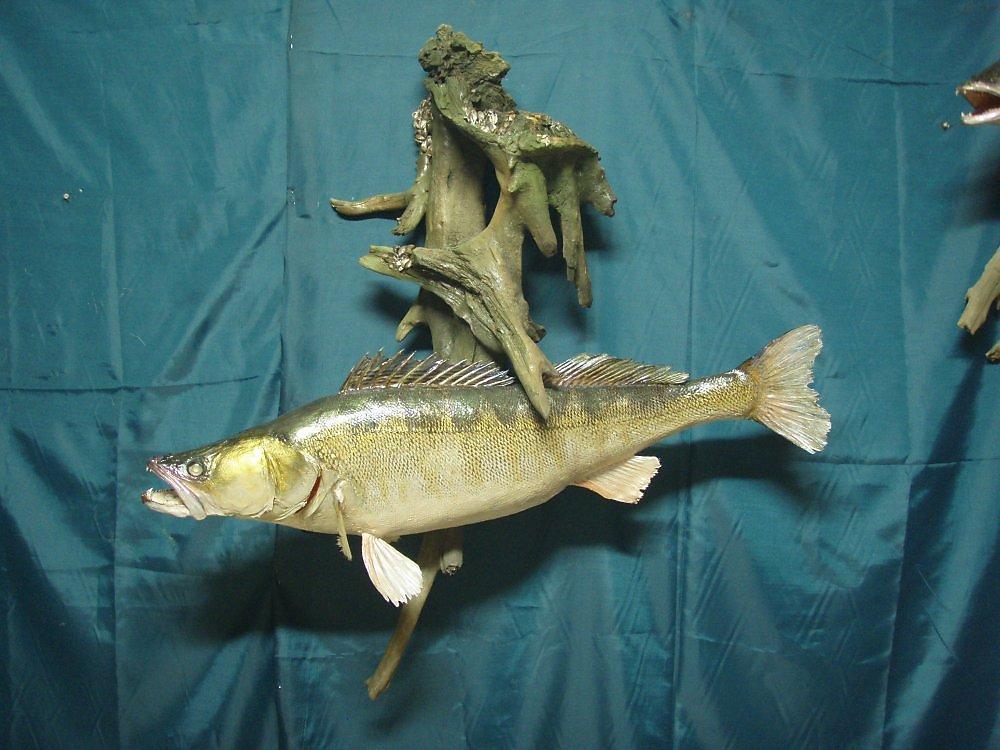 Сделать чучело рыбы своими руками 89