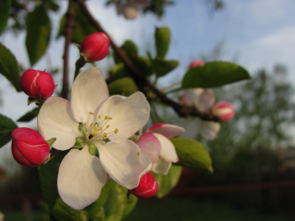 Картинки яблони в цвету 6