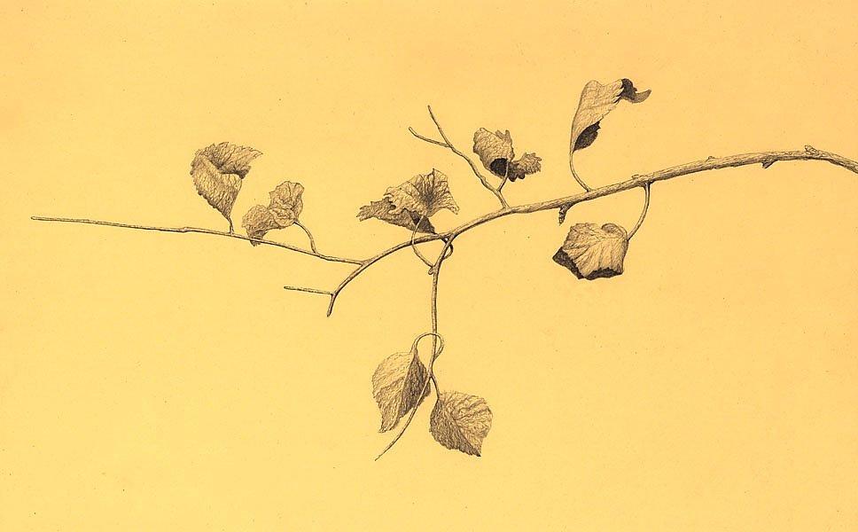 рисунок ветки карандашом: