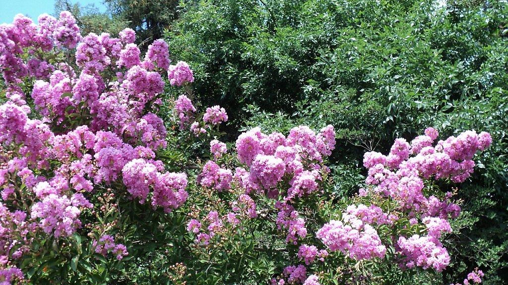 кусты с розовыми цветами в абхазии растут