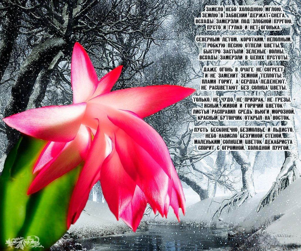 Стих цветы декабристы