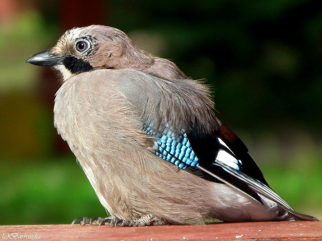 Птица сойка Описание фото и видео