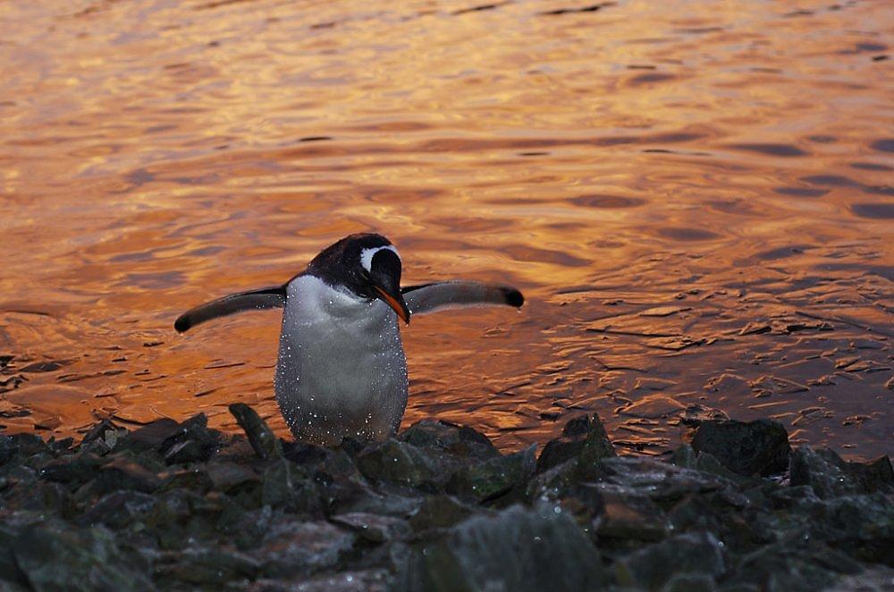 живая открытка доброе утро пингвин составом женщины