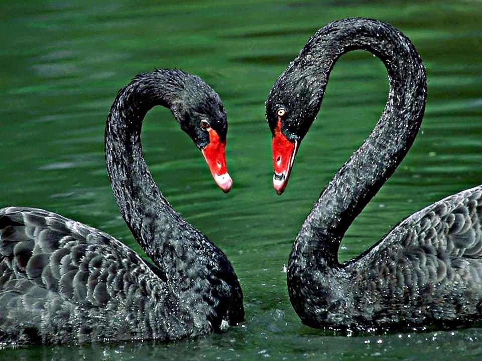 Черный лебедь картинки животное, богини открытки картинка