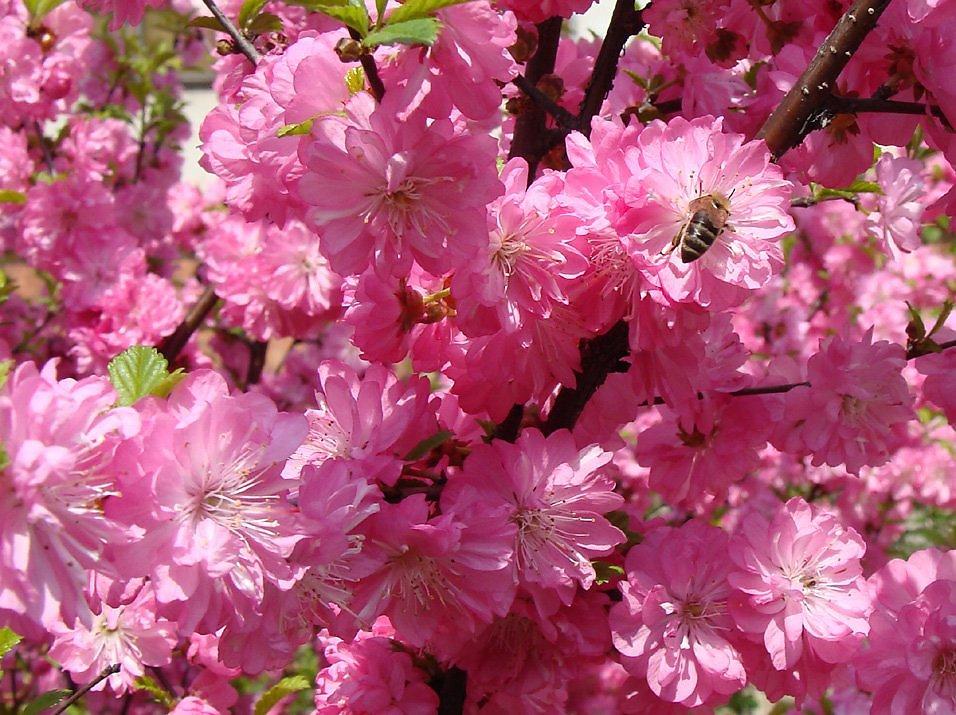 Цветов верхней, где купить миндаль цветы