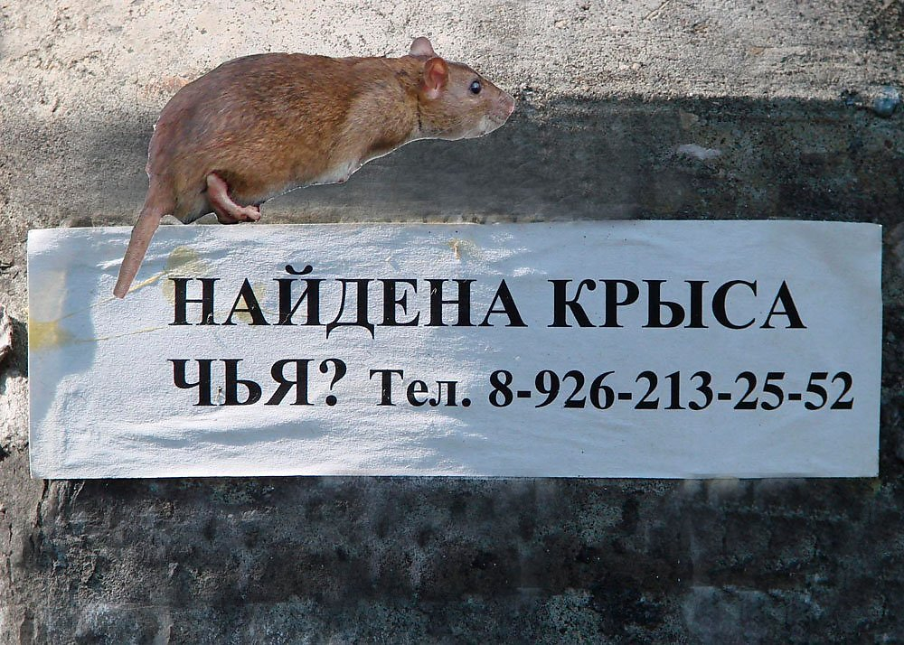 картинки с крысами смешные с высказываниями