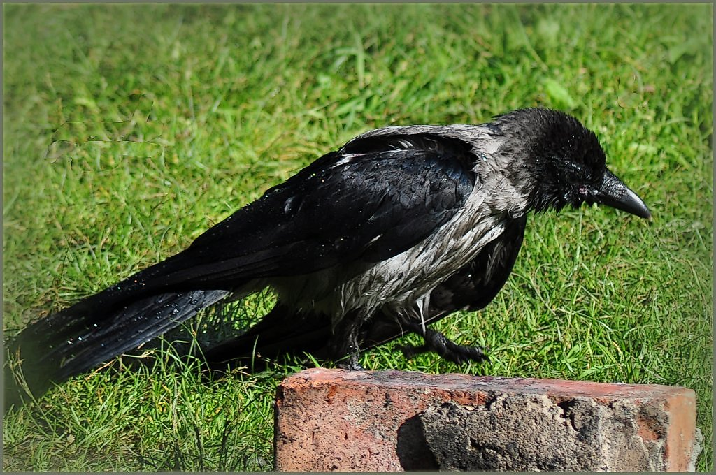 картинка ворон уставший черный