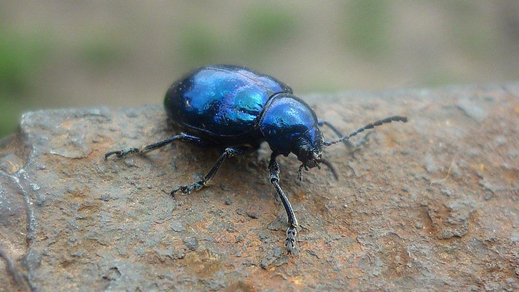 картинка синего жука высыхания составляет