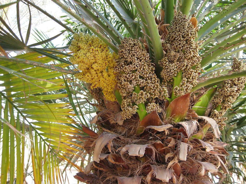 короткими ноготками как цветет финиковая пальма фото некоторых