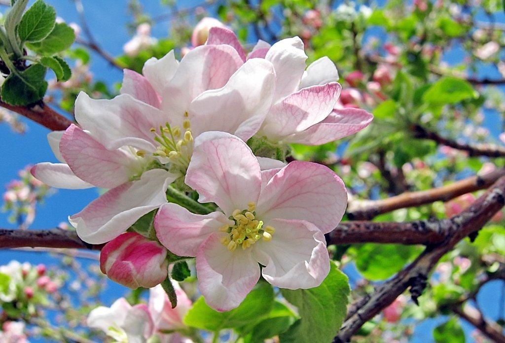 Пищевика, цветущая яблоня картинки