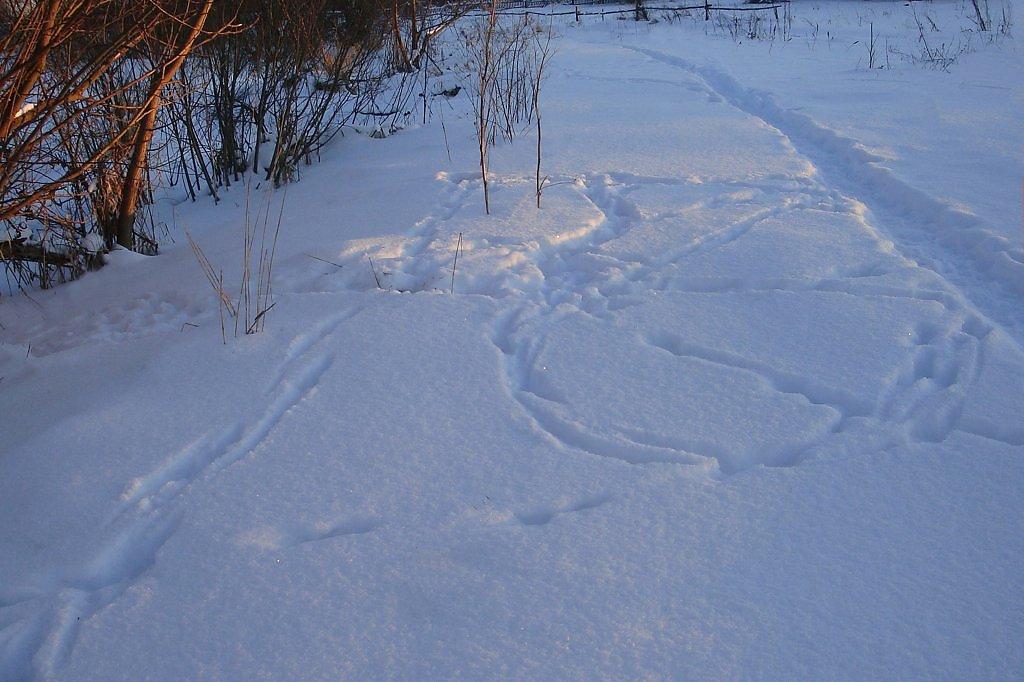 несмотря популярность, фото заячьих следов на снегу вся