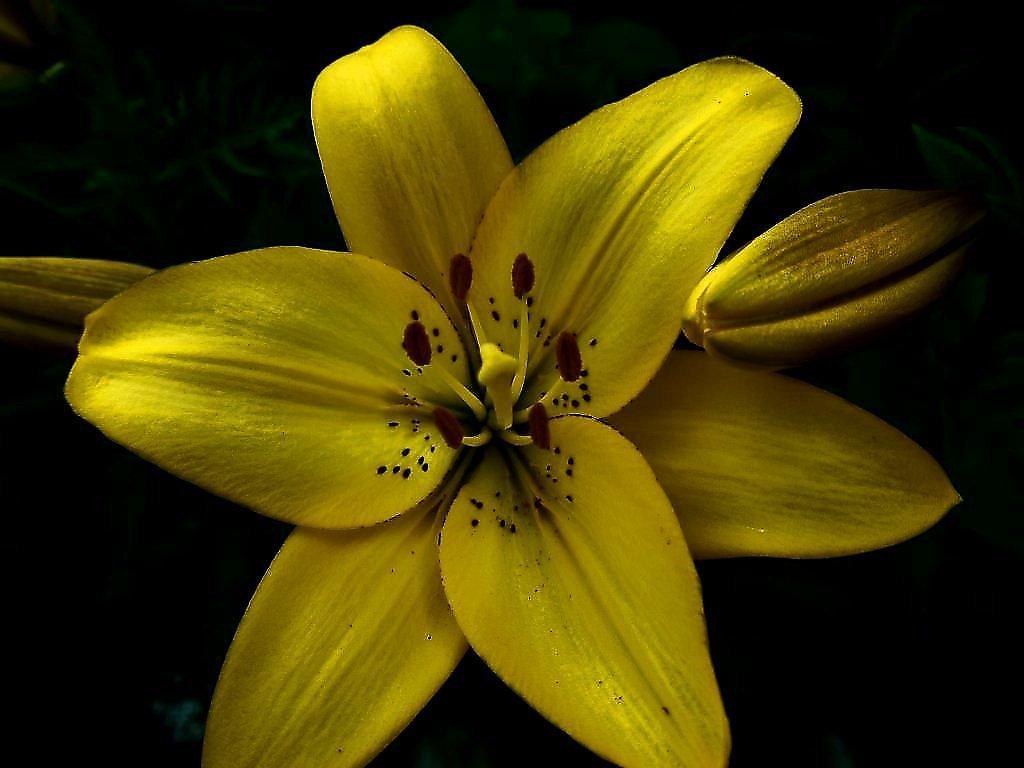 Открытки с желтыми лилиями