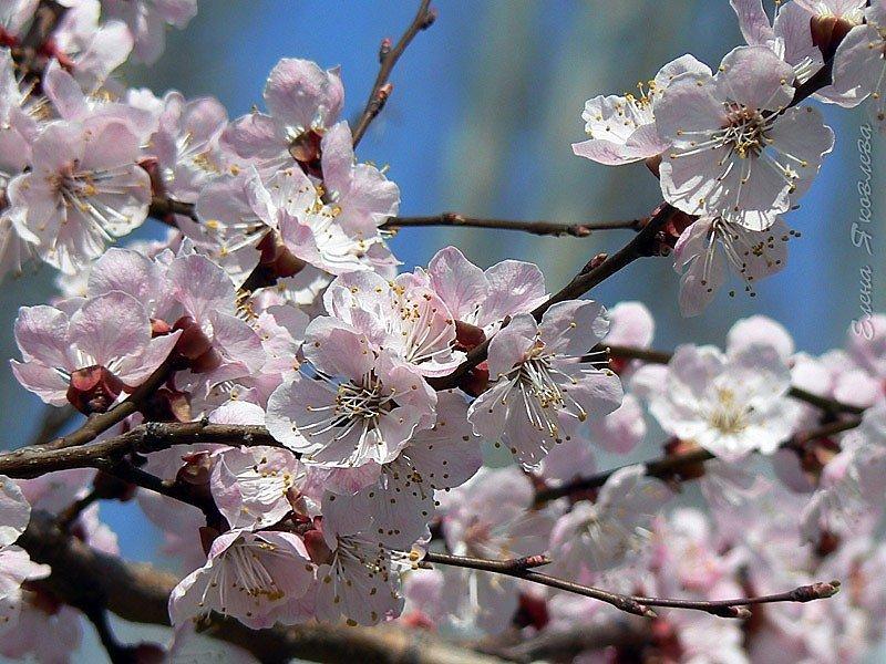 абрикос вишня в цвету фото это конкурс весёлых