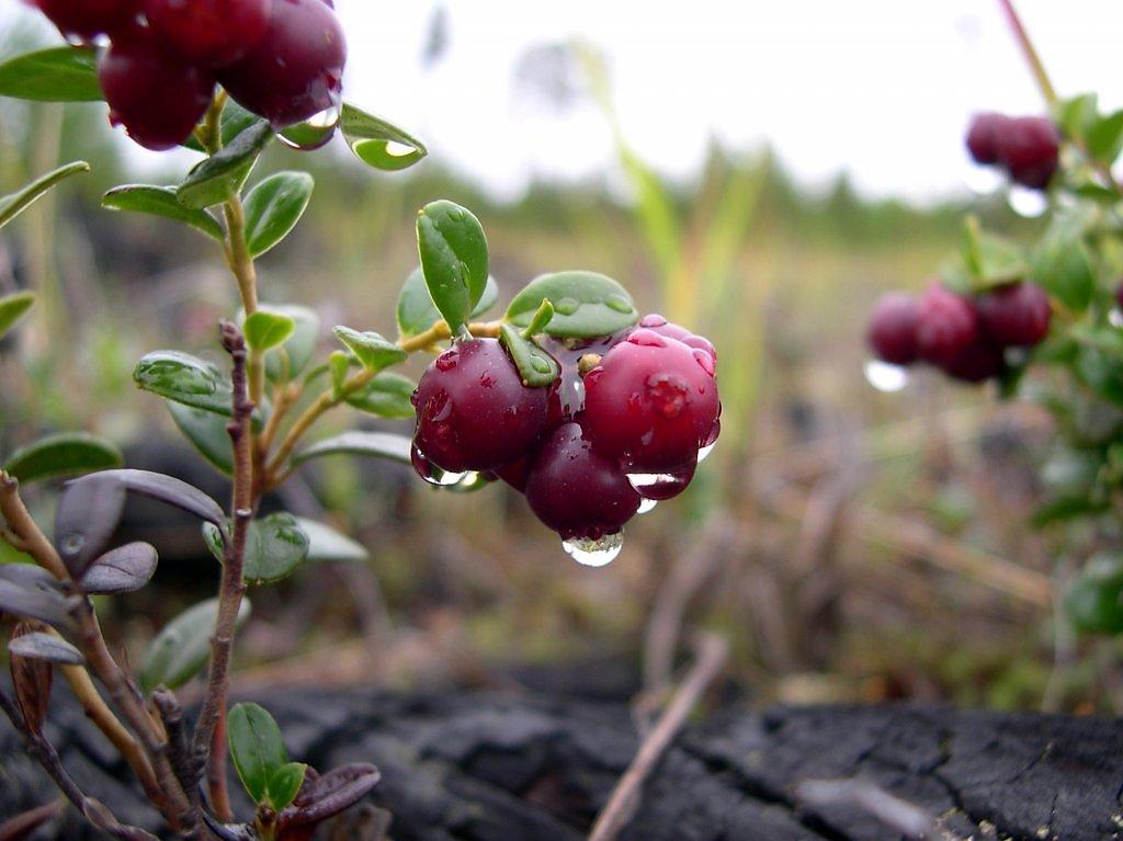 убираете картинка северные ягоды находится
