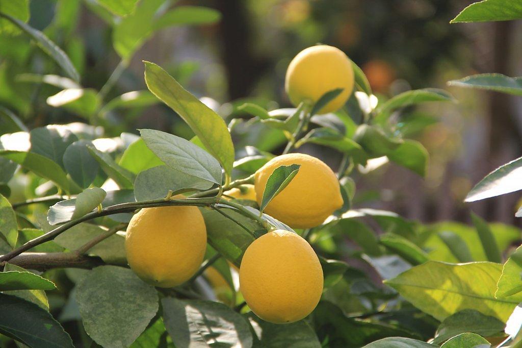 небольшой лимоны крупные на ветке фото фотографии бабушки гимназической