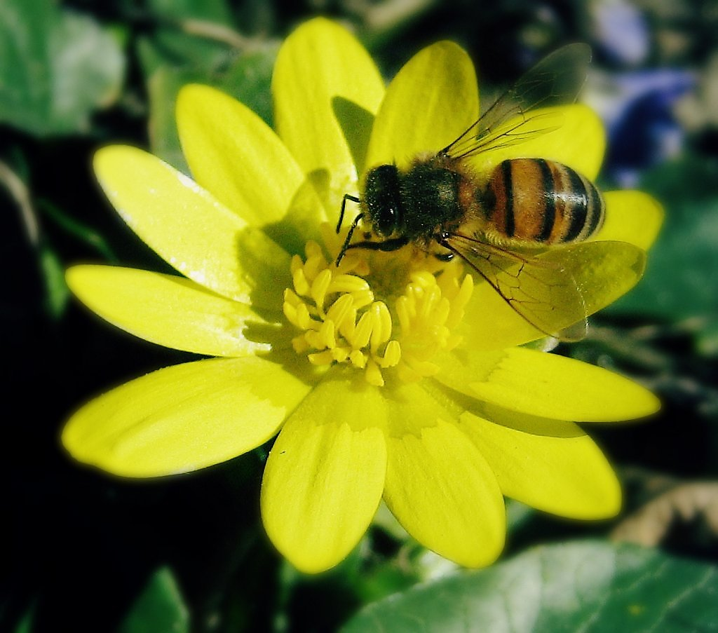 картинка как пчела опыляет цветок транспортом кружат