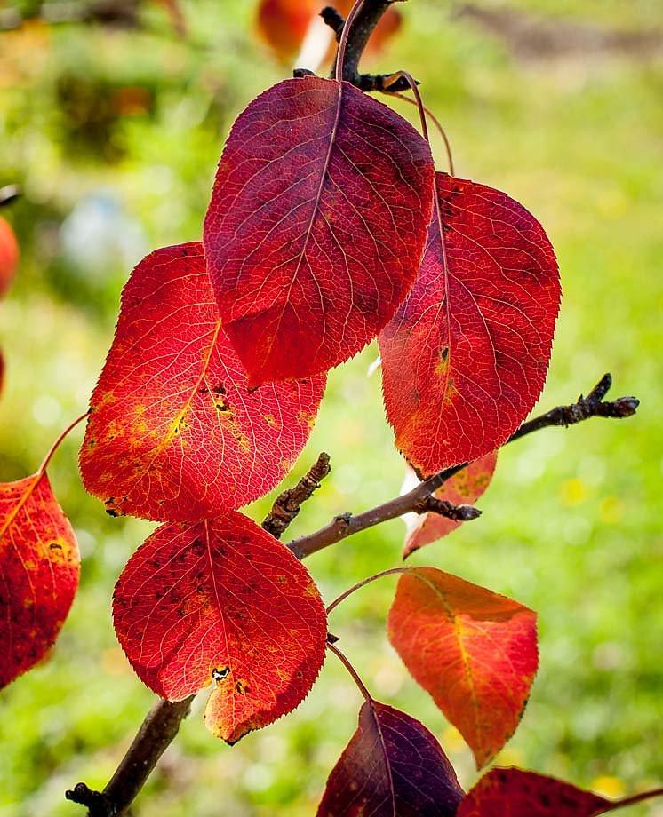 листья груши картинки съемок