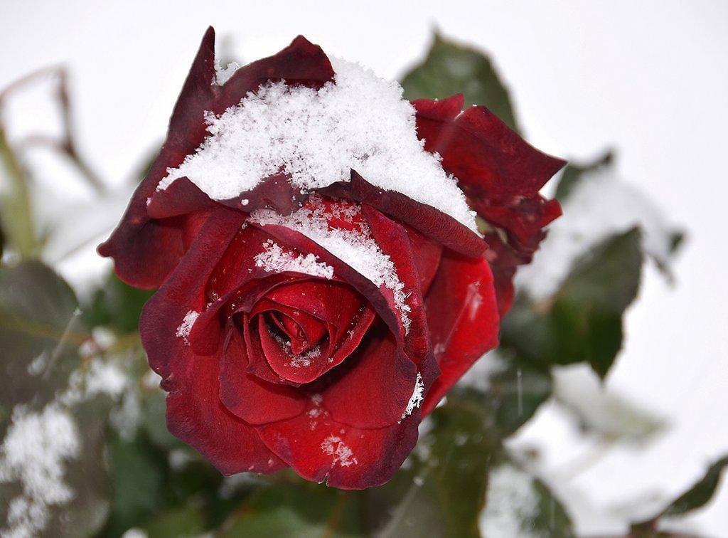 Днем рождения, картинка розы в снегу