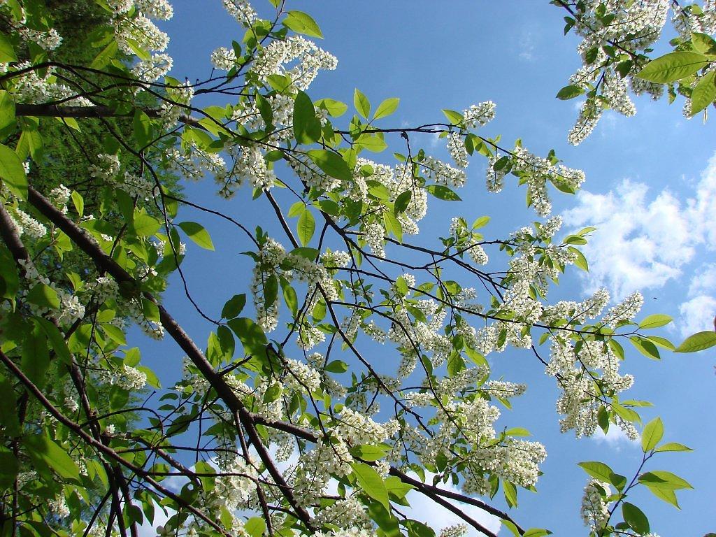 картинки бурятия цветение черемухи