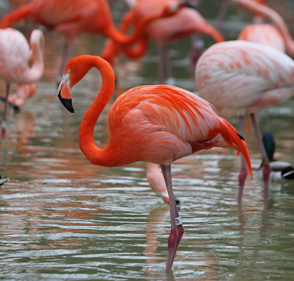оформления птица фламинго картинки мессенджер можно отправлять
